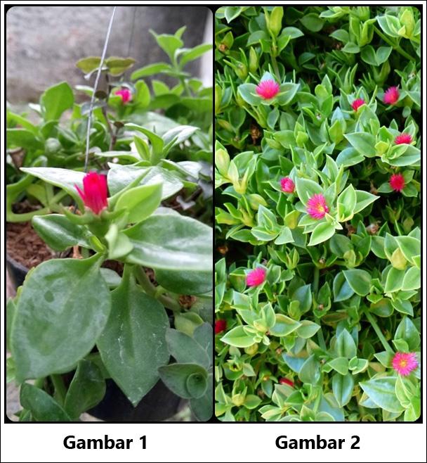 Identifikasi tanaman hias gantung