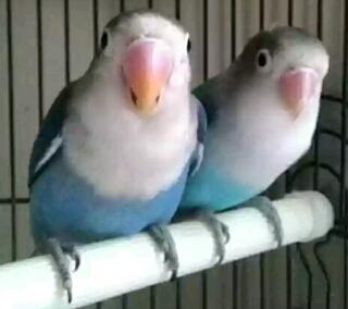 ciri-ciri lovebird jenis basah dan kering