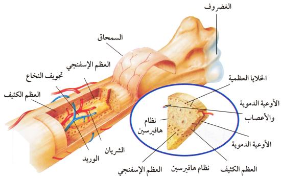 نموذج لدروس: الجهاز الهيكلي و الجهاز العصبي