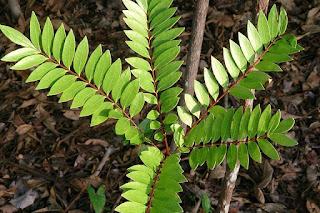 Tongkat Ali Eurycoma Longifolia Faydaları