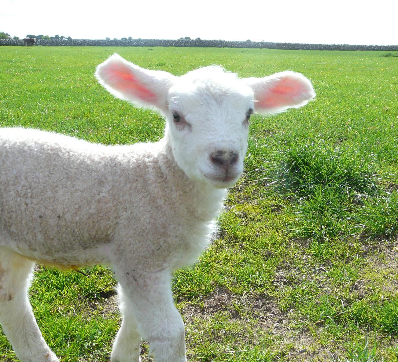 Bloat In Lambs