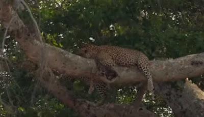 macan tutul bermalas-malasan di atas pohon