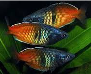 10 Ikan Hias Air Tawar TerindahBoseman's Rainbowfish