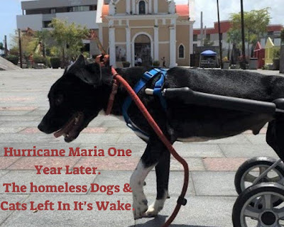 Impacts of Hurricane Maria on stray dogs and cats in Puerto Rico.  Pets,  Homeless animals, Hurricanes, Storms, Natural disasters.