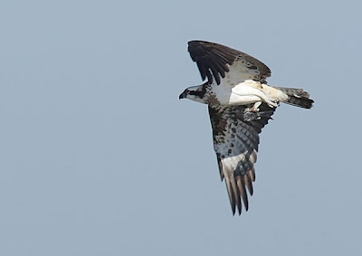 Águila pescadora en vuelo