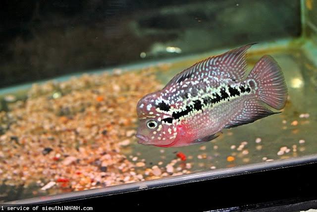 Flowerhorn The Hybrid Cichlids: Kamfa Baby