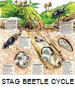 The life cycle of a stag beetle