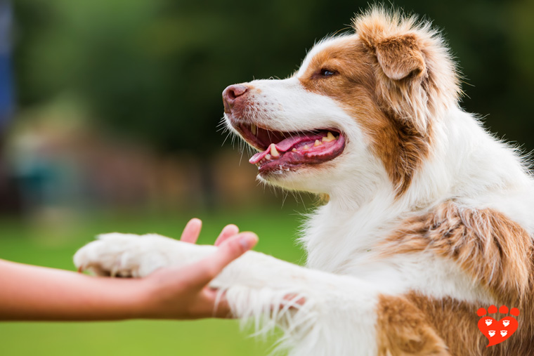 A guide to positive reinforcement in dog training to teach your dog like this happy Australian Shepherd who shakes a paw