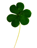 A picture of a single shamrock showing 3 leaves