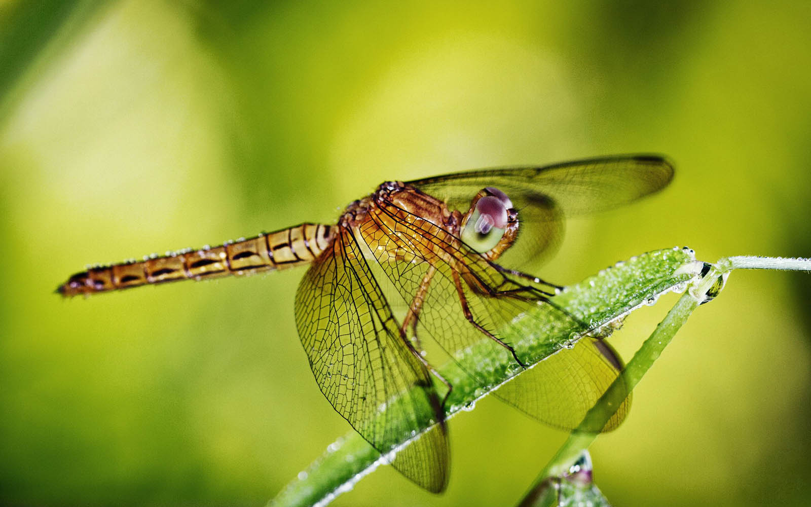 wallpapers: Dragonfly Wallpapers