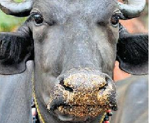Buffalo meaning in hindi, Spanish, tamil, telugu, malayalam, urdu, kannada name, gujarati, in marathi, indian name, marathi, tamil, english, other names called as, translation