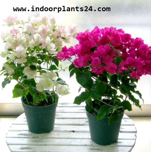 Paper Flower Plant Care Angelo