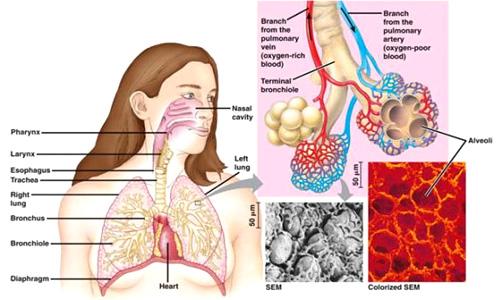 Membersihkan Paru-Paru Dari Dahak penyakit paru-paru basah dan obatnya