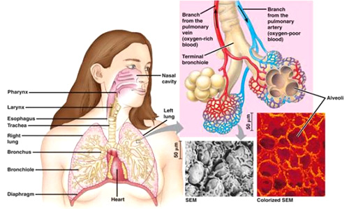 Obat China Pembersih Paru-Paru penyakit paru-paru basah dan obatnya