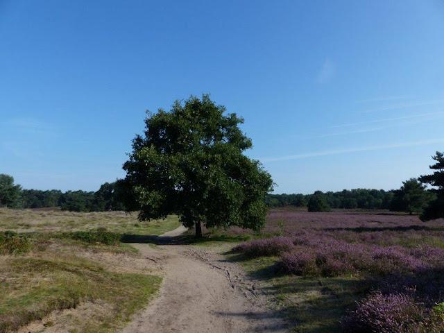 Westruper Heide Haltern am See blühende Heide Blüte Sommer Hunderunde Spaziergang Wanderung Nordrhein-Westfalen Ruhrgebiet