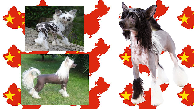 Crestado Chino una raza muy peculiar de perros chinos