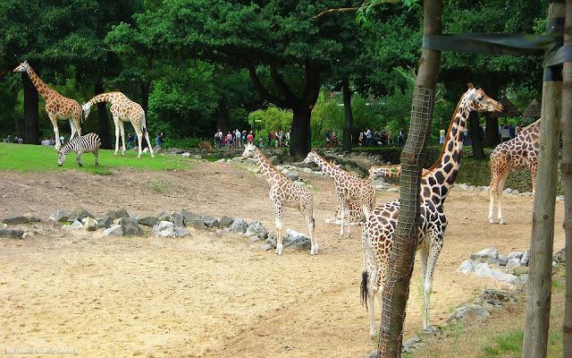 Wallpaper met giraffes in dierentuin Emmen