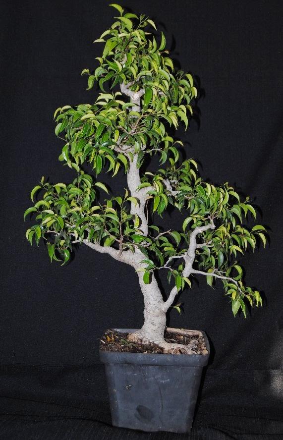 ficus benjamina var wiandi cinderella of the species as bonsai lennard 39 s bonsai beginnings. Black Bedroom Furniture Sets. Home Design Ideas