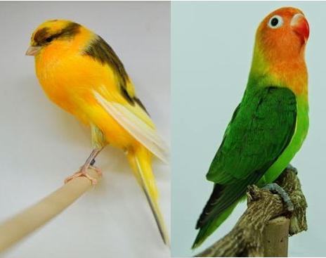 HARGA BURUNG LOVEBIRD DAN KENARI TERBARU 2016