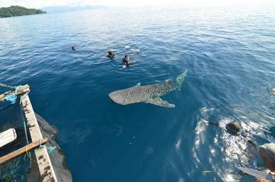 Whale Shark di Teluk Cendrawasih