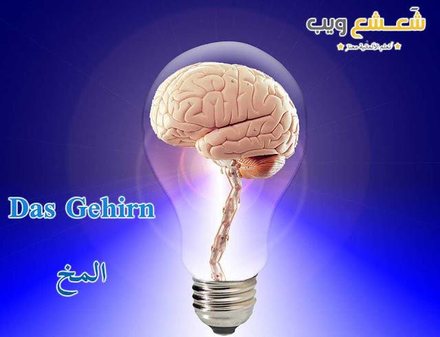 المخ: das Gehirn