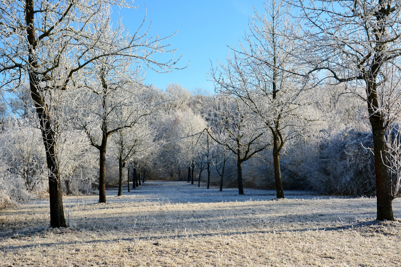 Trees covered in white frost