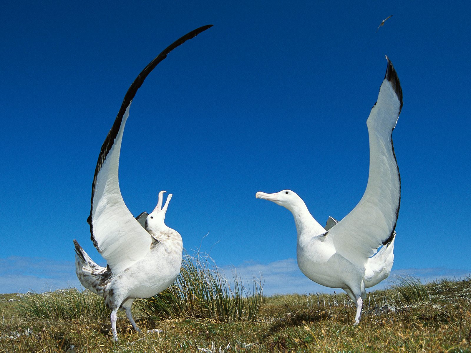 Albatross | The Life of Animals