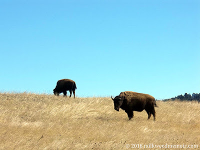 Two American bison stand on mixed-grass prairie in the Black Hills of South Dakota at Wind Cave National Park.