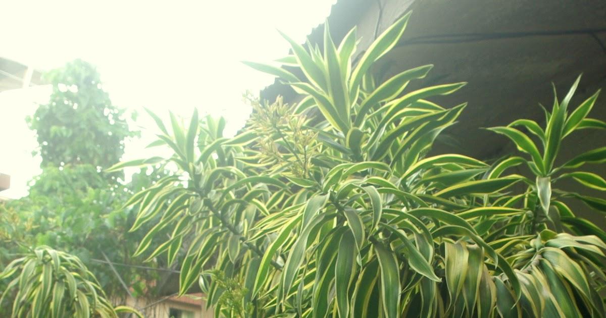 noel autor dracaena fragrans corn plant. Black Bedroom Furniture Sets. Home Design Ideas
