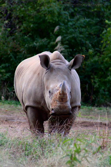 White Rhinoceros by Rosevine Cottage Girls