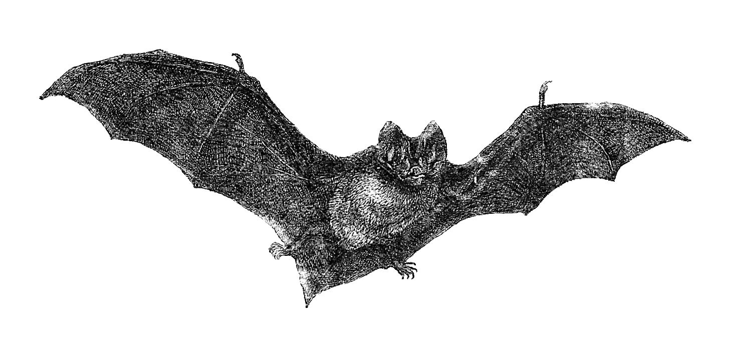 bat halloween flying clip bats clipart drawing graphic antique 1885 vampire antiqueimages cliparts library