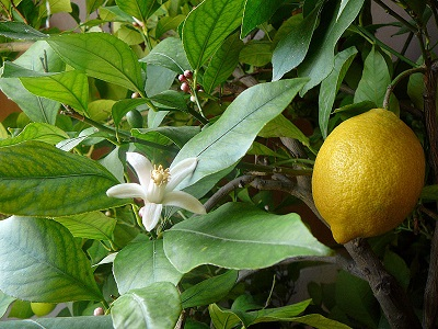 lemon and flowers on a lemon tree