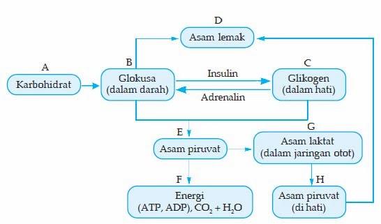 Materi Biologi SMA XII Tentang Katabolisme Karbohidrat, Lemak, dan Protein
