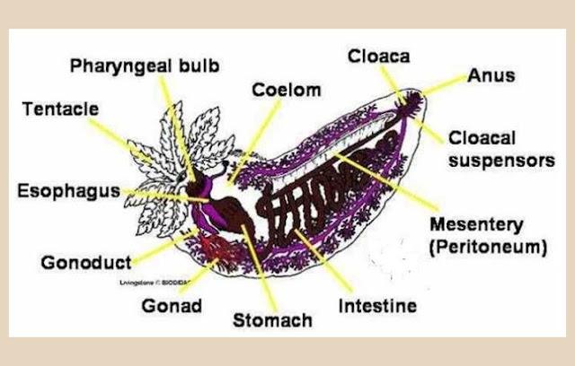Curcumaria Frondosa (Teripang)