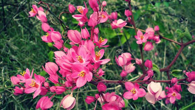 Manfaat Bunga Air Mata Pengantin