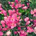 9 Manfaat Bunga Air Mata Pengantin Untuk Kanker Dan Darah