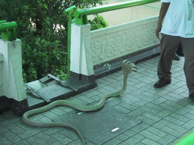 Five headed snake in bangalore dating. what is radio active dating work.