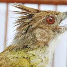 Penyebab Dan Terapi Burung Cucak Jenggot Macet Bunyi