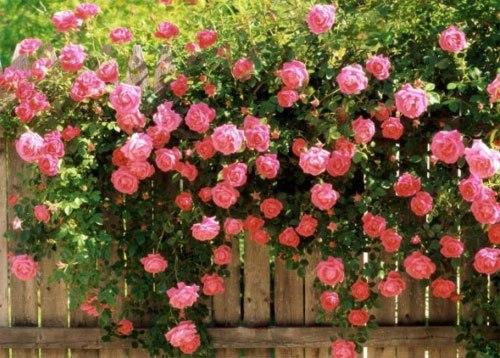 hoa hồng leo dàn