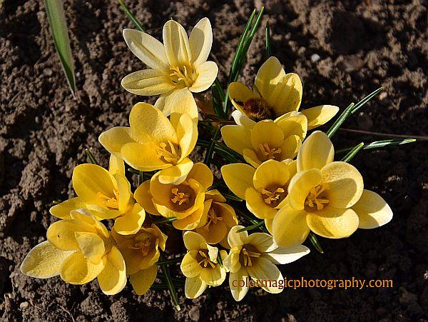 Dutch yellow crocus -Crocus flavus