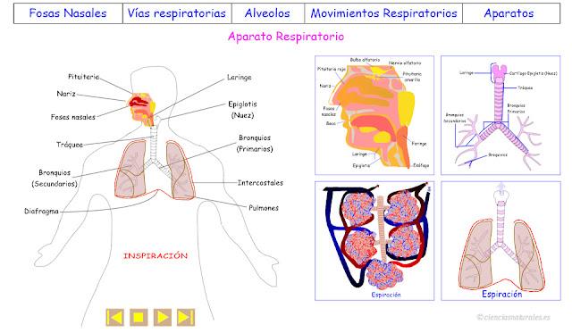 Aparato Respiratorio (actualización)