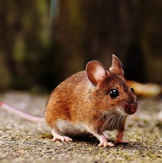 Tips Supaya Plafon Tidak digunakan Sarang Tikus