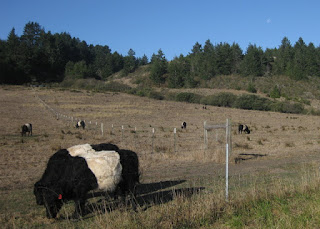 Belted Galloway cattle grazing in a field along Cloverdale Road, Pescadero, California