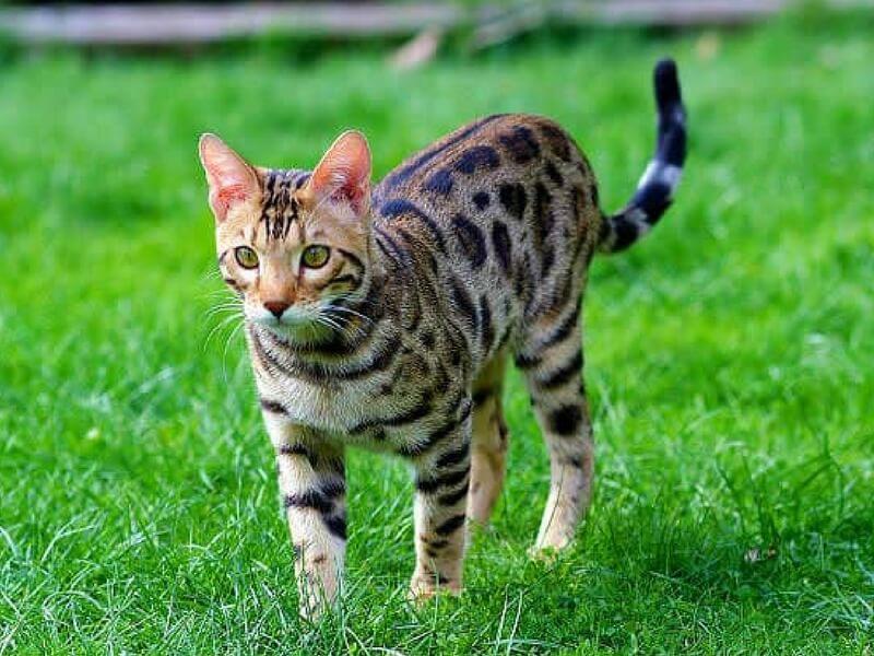 Kucing Bengal comel