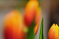 Fokus auf rechter Tulpenknospe...