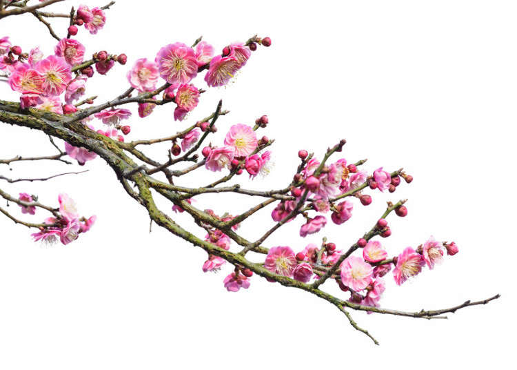 the holiday and travel magazine  plum blossoms in japan