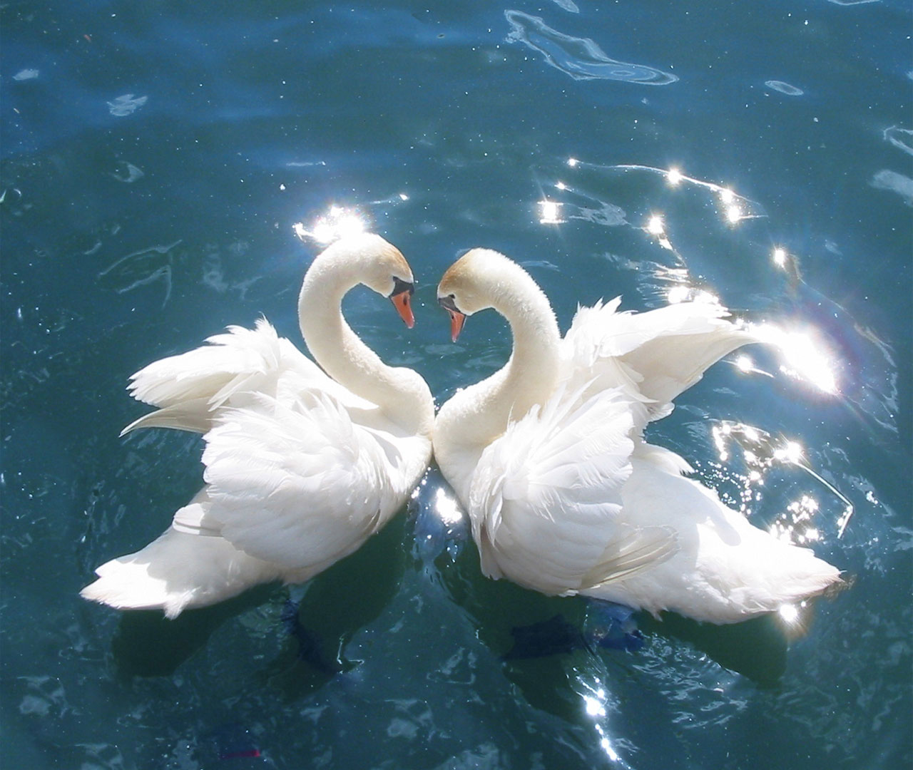 Swan A Symbol Of Love And Fidelity Strang Facts About Swan