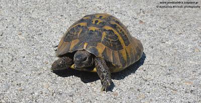 """Η Ελληνική χερσαία χελώνα, βρέθηκε στο δρόμο μας και δέχτηκε να φωτογραφηθεί για την """"ΑΛΗΘΕΙΑ""""!"""