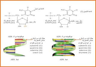 تحضير درس استنساخ المعلومات الوراثية الموجودة على مستوى الadn