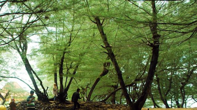 pohon cemara udang
